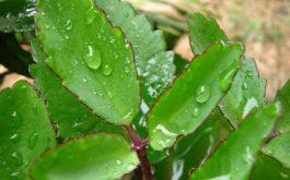 Khi dùng làm dược liệu, người ta thường sử dụng lá sống đời.