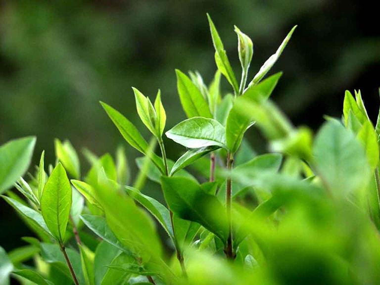 Lá trà xanh có tác dụng trong điều trị nấm phụ khoa