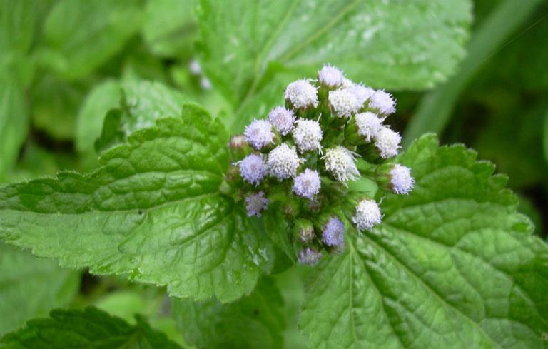 Chữa viêm mũi dị ứng bằng hoa ngũ sắc là bài thuốc điều trị phổ biến