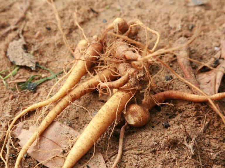 Tăng cường sức đề kháng và bồi bổ khí huyết là công dụng chung của các loại sâm đất.