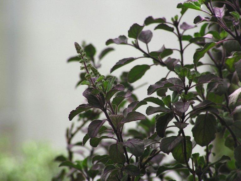 Hình ảnh hương nhu tía