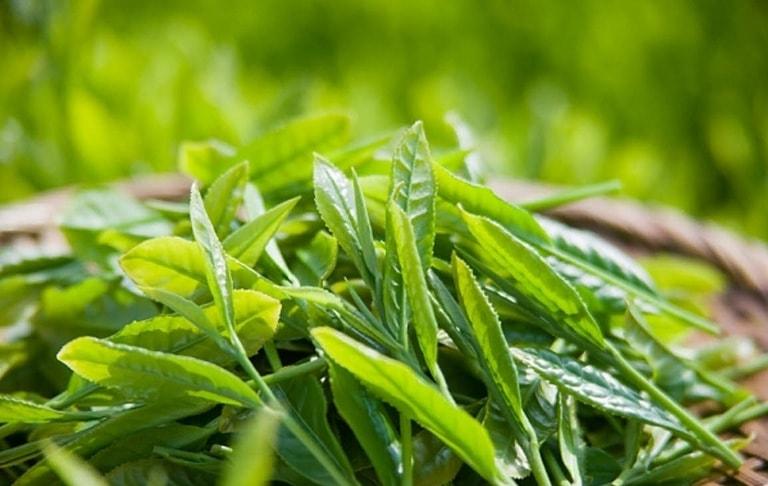 Sử dụng lá trà xanh để kiểm soát lượng khí hư là mẹo dân gian cho tác dụng tốt