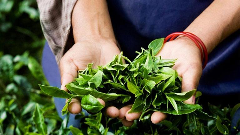 Nấu nước lá trà xanh để tắm hoặc ngâm rửa vùng da bị viêm cơ địa để đẩy lùi các cơn ngứa ngáy, tình trạng da mẩn đỏ