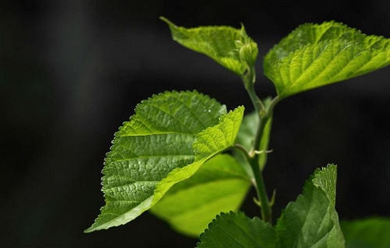 Chữa viêm phế quản mãn tính bằng thuốc nam từ lá dâu