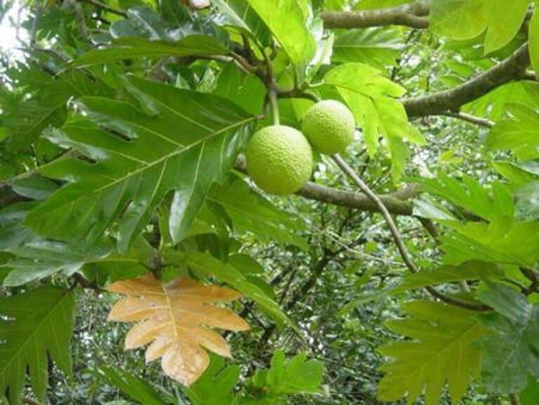 Không chỉ có trái sa kê, lá của loại này cũng chữa nhiều bệnh lý.