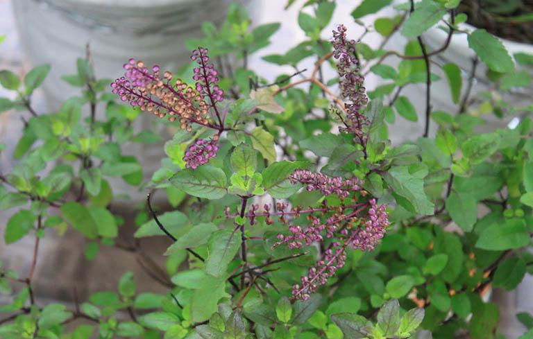 Cây hương nhu có tác dụng trị các chứng liên quan đến bệnh cảm