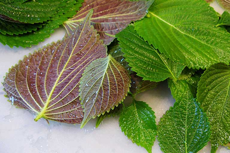 Thành phần tinh dầu periladehid trong lá tía tô có tác dụng sát trùng, tiêu viêm và giảm ngứa