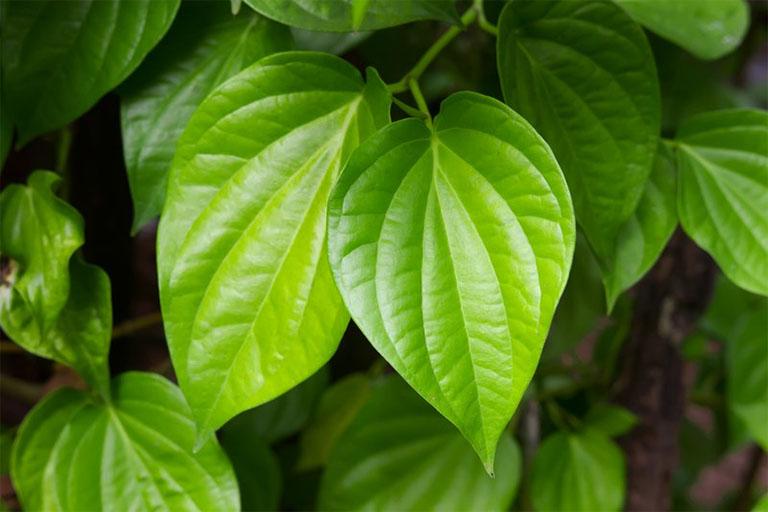 Lá trầu không là một trong những loại lá cây dân gian có tính sát khuẩn, kháng khuẩn, tiêu viêm rất tốt, rất thích hợp để dùng trị viêm da cơ địa ở đầu