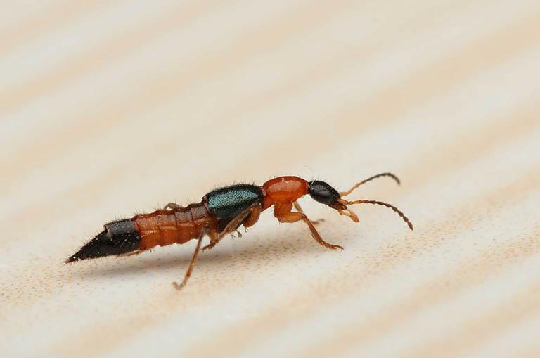 Kiến ba khoang (Paederus)