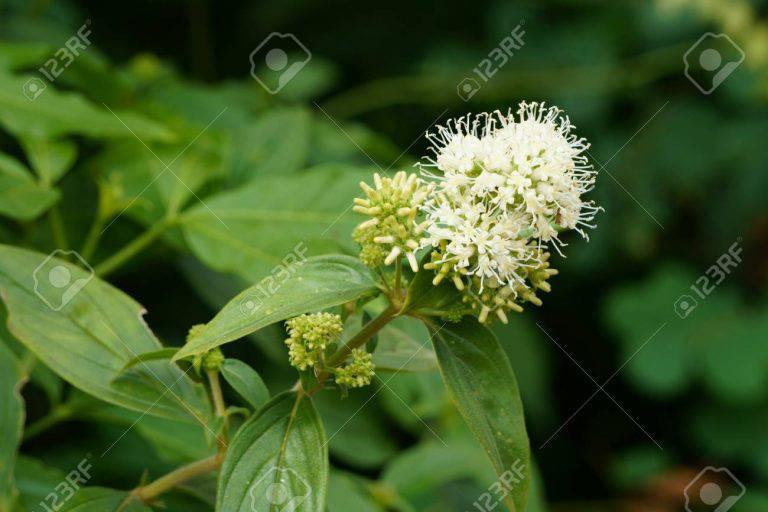 Dạ cẩm là loài cây mọc hoang nhiều ở vùng núi phía Bắc
