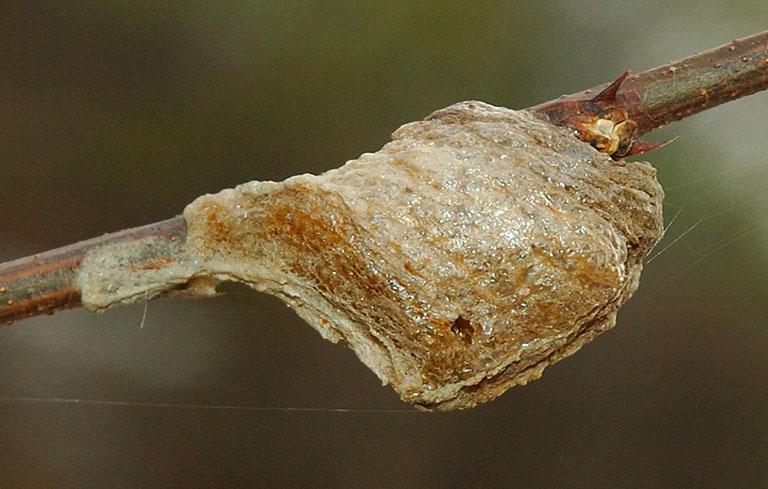 Tổ bọ ngựa được điều chế thành bột trị viêm tai giữa