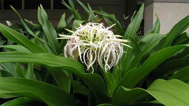 Cây đại tướng quân có 2 loại hoa trắng và hoa đỏ. Cần chú ý để chọn mua đúng loại hoa trắng