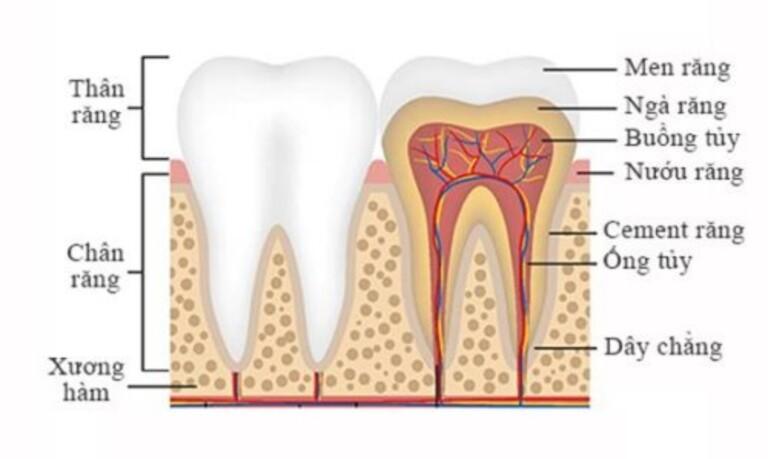 Ngà răng bị mất lớp men bao bọc sẽ gây ê buốt khi chịu tác động bởi nhiệt độ hoặc tính chất của môi trường trong khoang miệng.