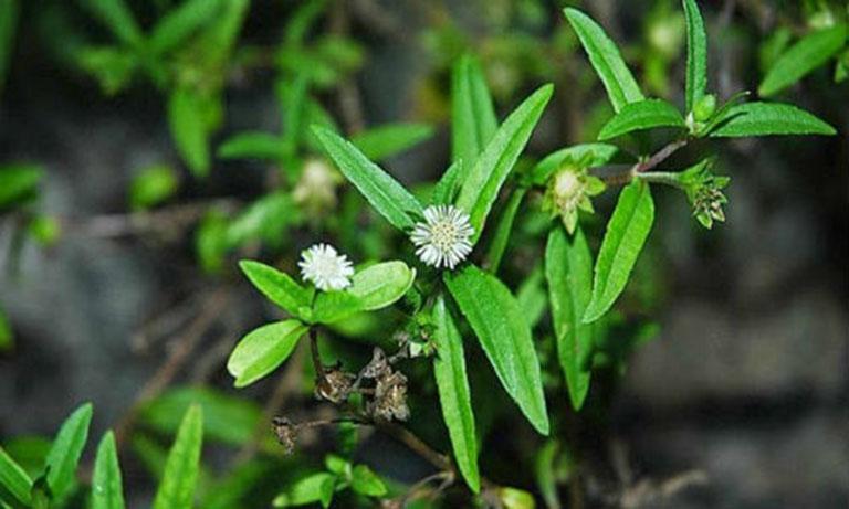 Cải thiện các triệu chứng do viêm nha chu gây ra bằng bài thuốc từ cỏ mực
