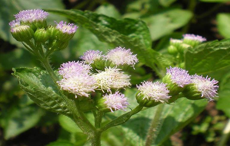 Dung dịch hoa ngũ sắc trị viêm mũi dị ứng rất hiệu quả và nhanh chóng