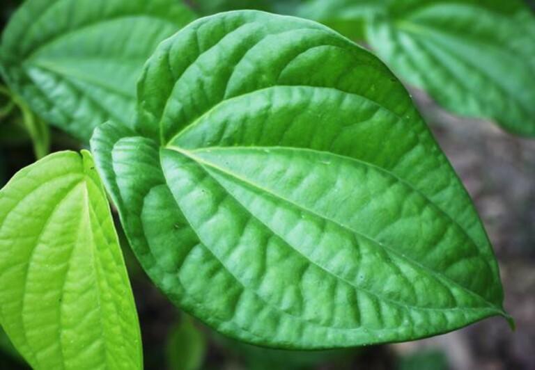 Lá trầu không ngăn chặn hình thành sắc tố melanin nên chữa được nám da. Ngoài ra, các thành phần của lá này còn hỗ trợ chữa tàn nhang.