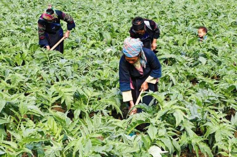 Vườn thảo dược sạch tại Thuốc dân tộc
