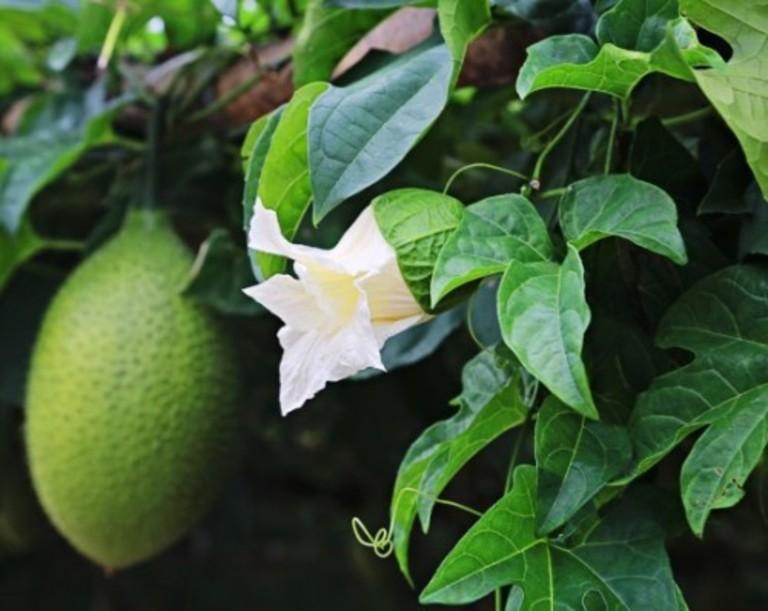 Kết hợp lá rau má với lá gấc làm mặt nạ đắp vừa không lo mụn vừa không lo thâm sẹo.