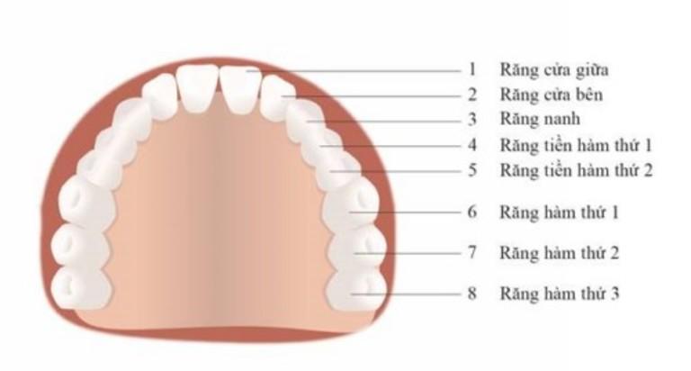 Răng hàm có tổng cộng 20 cái (bao gồm cả 4 chiếc răng khôn).