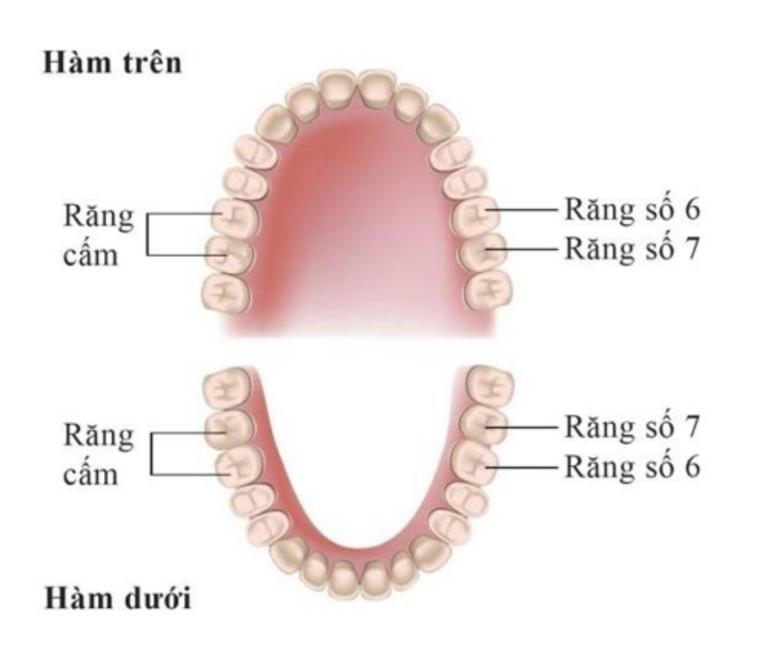 Răng cấm là răng ở vị trí số 6 và số 7. Tổng cộng hai hàm có 8 cái cái răng cấm.