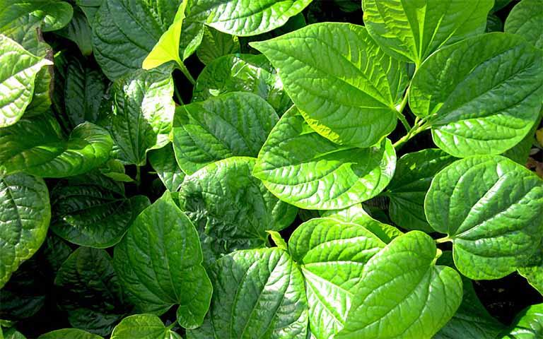 Lá lốt là một trong những bài thuốc nam quen thuộc chữa viêm da cơ địa đối xứng được sử dụng từ khá lâu đời