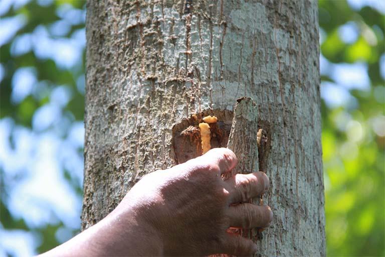 Hình ảnh thu hoạch phần nhựa của cây bồ đề (An tức hương)