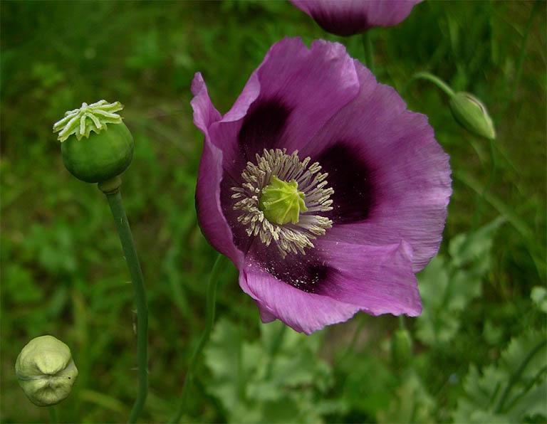 Cây thuốc phiện là cây thân thảo, thân cây có màu xanh lục, lá dài hình bầu dục và có hoa màu đỏ, trắng hoặc tím