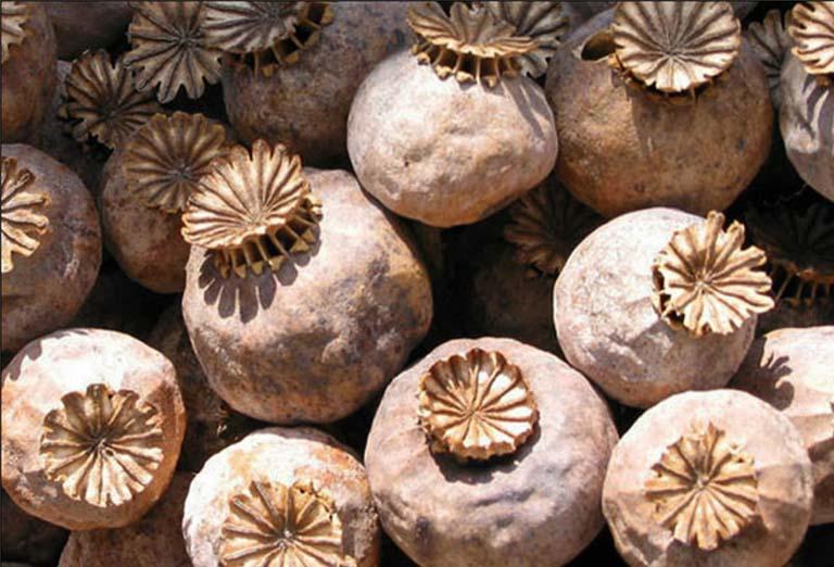 Anh túc xác là phần vỏ quả khô của cây thuốc phiện (hay còn gọi là cây A phiến)