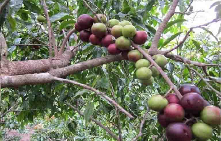 Cây bồ quân là loại cây rất quen thuộc ở miền Bắc
