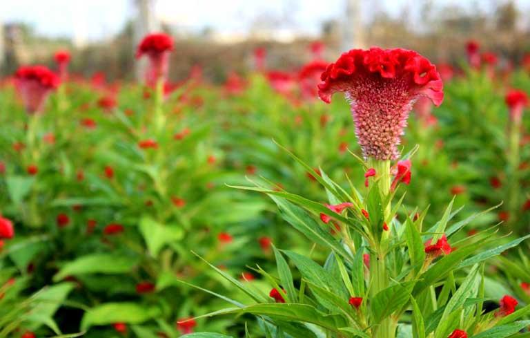 Hoa mào gà cũng được sử dụng trong điều trị rối loạn kinh nguyệt