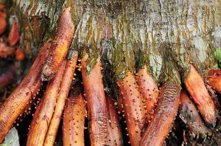 Rễ cau còn được gọi là rễ cây tân lang, rễ cây bình lang, rễ cau nổi, rễ cau treo,... thuộc họ Cau (Arecaceae)