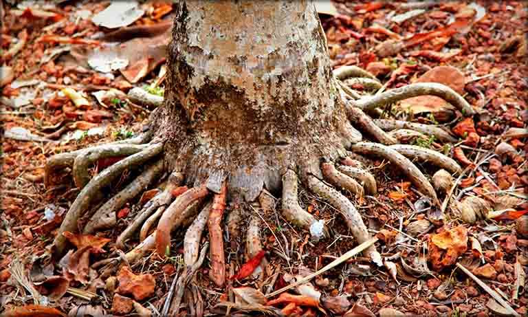 Rễ cau là phần rễ nổi trồi lên mặt đất, có vỏ ngoài màu vàng ống hoặc vàng nâu của cây cau
