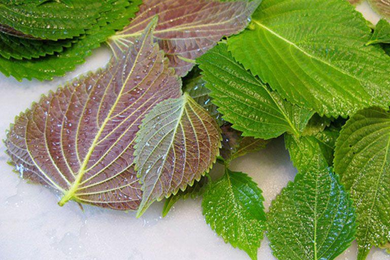Lá tía tô là một trong những loại thảo dược trị phong ngứa, mổi mề đay được nhiều người sử dụng.