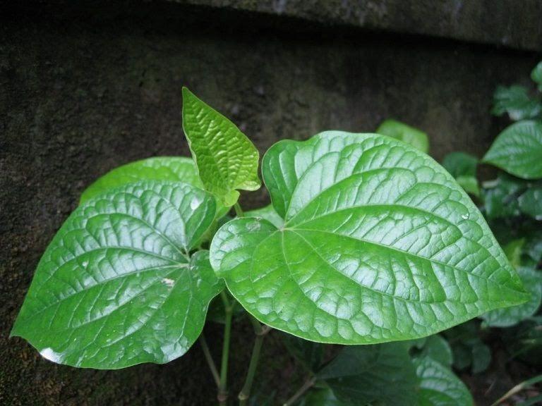 Lá lốt - vị thuốc Đông y đa tác dụng