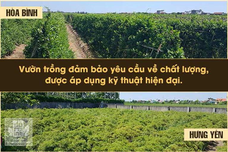 Vườn thảo dược Hòa Bình, Hưng Yên, Hà Nội được Đỗ Minh Đường phát triển theo hướng chuyên canh
