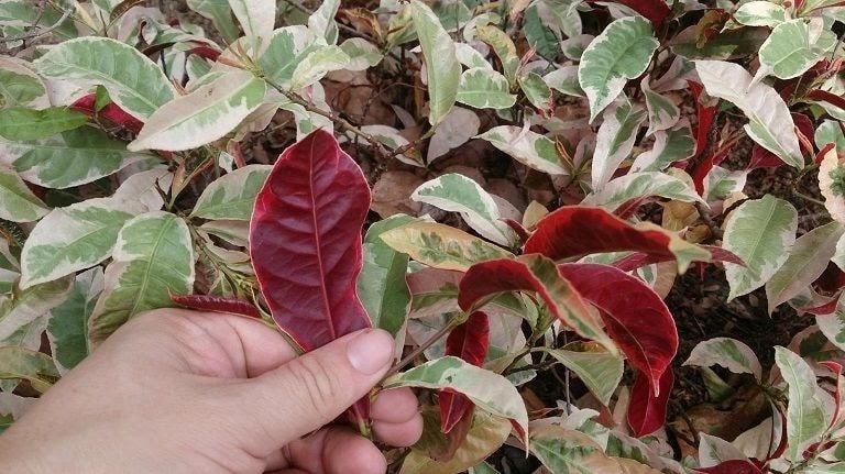 Lá đơn đỏ là cây thuốc Nam chữa dị ứng cơ địa