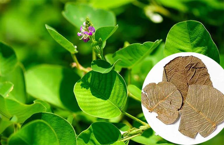 Bài thuốc nam từ kim tiền thảo giúp chữa viêm niệu đạo và triệu chứng theo dân gian