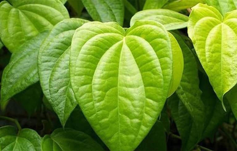 Bài thuốc sử dụng lá trầu không chữa bệnh viêm niệu đạo và khắc phục triệu chứng