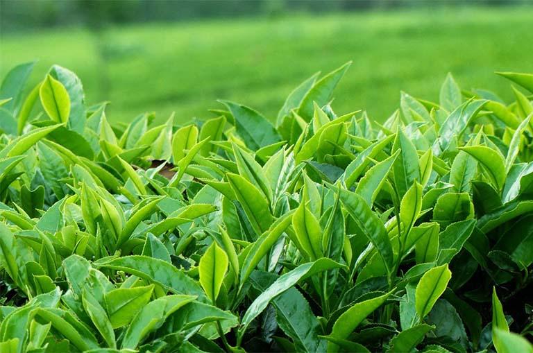 Bài thuốc nam từ lá chè xanh phòng ngừa và điều trị bệnh viêm niệu đạo