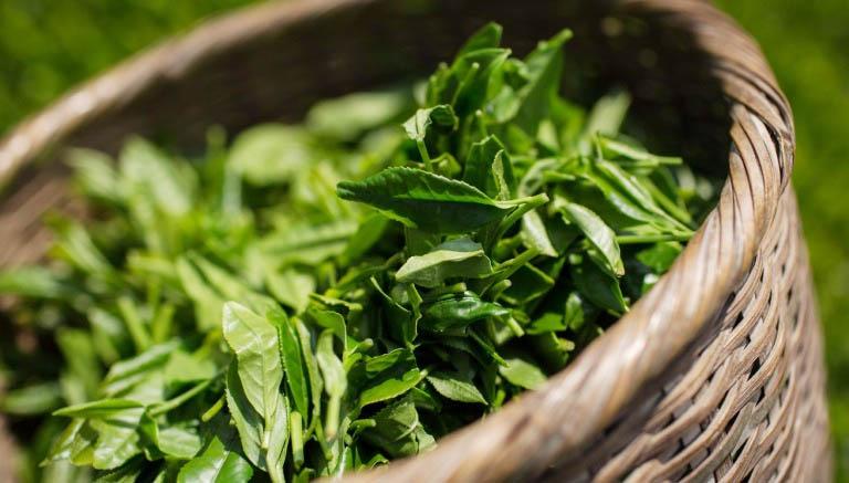 Một số thành phần trong trà xanh còn có tác dụng chữa lành các tổn thương ở niêm mạc họng và thành VA