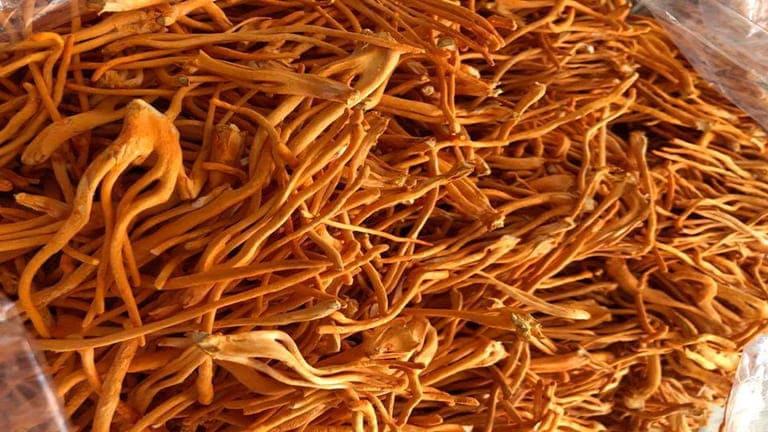 Bảo quản đông trùng hạ thảo bằng phương pháp sấy thăng hoa để đảm bảo phần dưỡng chất tốt nhất