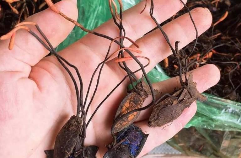 Trùng thảo bọ xít sở hữu nhiều công dụng hữu ích