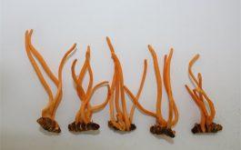 Đông trùng hạ thảo nguyên con là gì, công dụng, cách dùng và giá bán