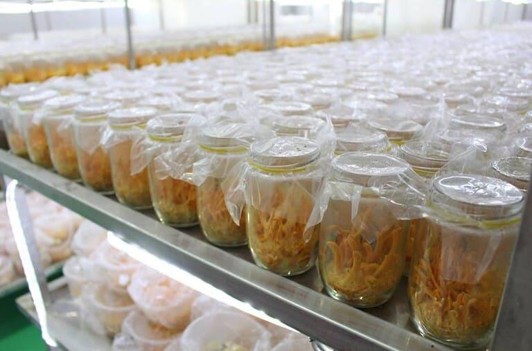 Đông trùng được nuôi cấy trong nhà kính