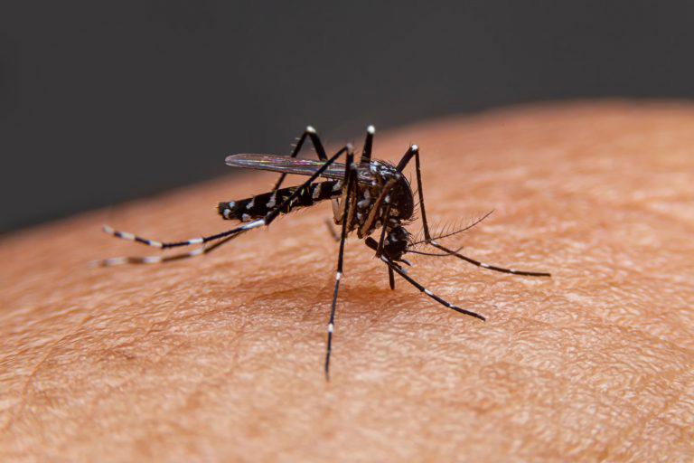 Muỗi vằn Aedes aegypti mang virus dengue là nguyên nhân chính lây truyền bệnh sốt xuất huyết cho người này sang người khác
