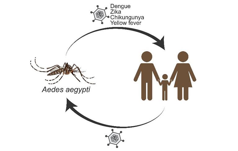 Hình ảnh hiểu thị con đường lây truyền mầm bệnh sốt xuất huyết