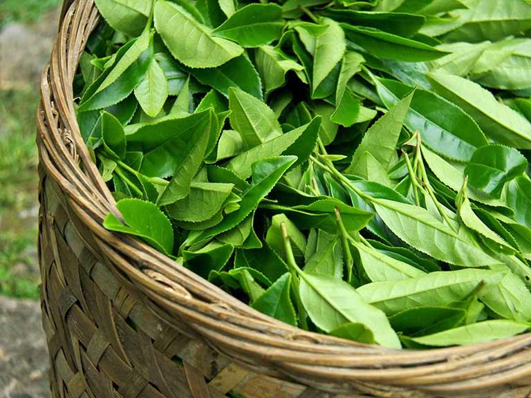 Chất chống oxy hóa có trong trà xanh còn giúp cân bằng nồng độ estrogen, từ đó giúp làm chậm quá trình gia tăng kích thước khối u xơ