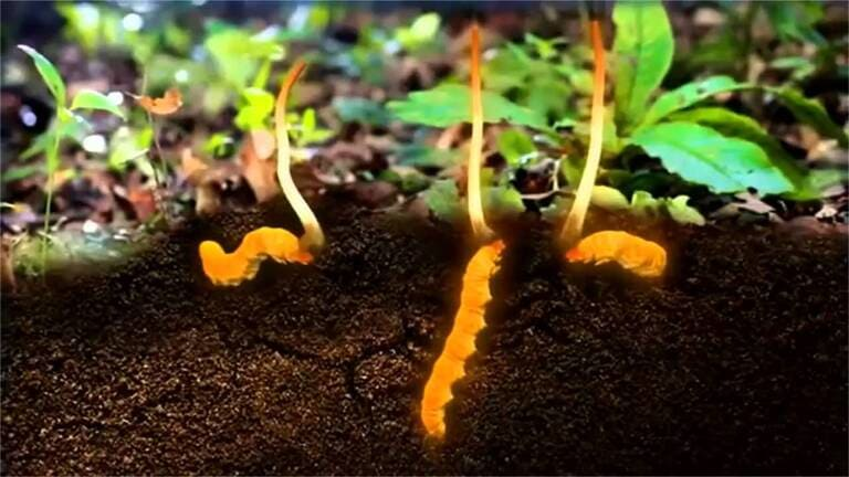 Trùng thảo Tây Tạng sự kết hợp hoàn hảo của ấu trùng non và nấm Cordyceps Sinensis sau khi phát bào tử sẽ được thu hái