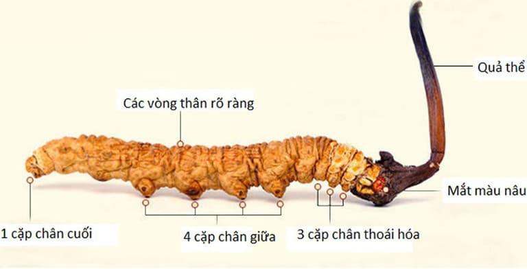 Con đông trùng tự nhiên với đủ 8 cặp chân, mắt máu nâu cánh rán rõ nét