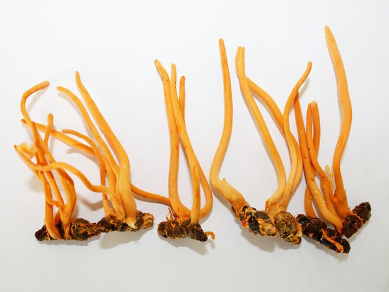 Đông trùng hạ thảo Việt Nam cho thu hoạch khi đạt đủ tiêu chuẩn